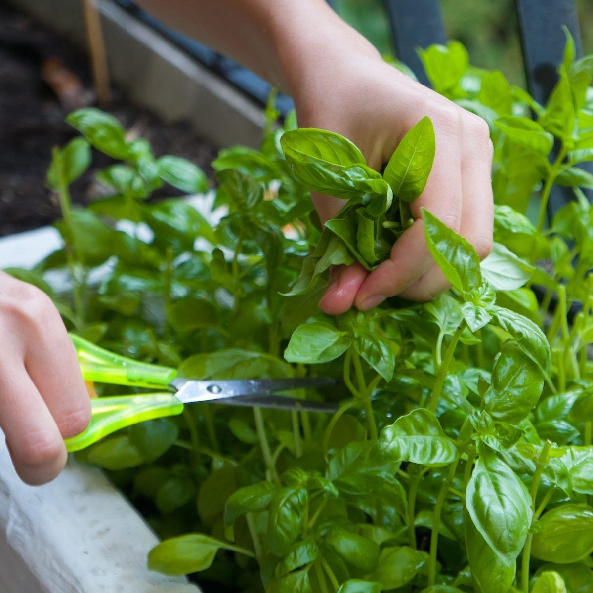 cutting basil plant