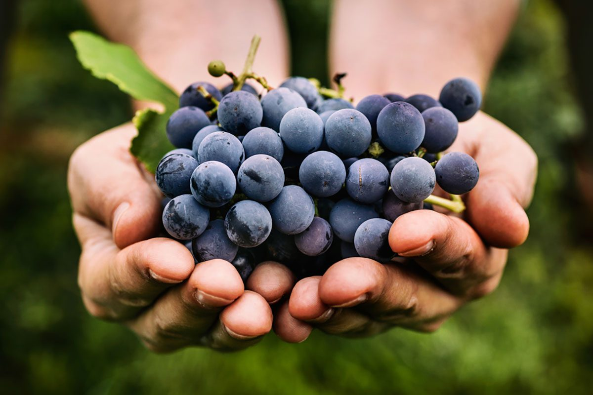 Our Guide To The Most Popular Grape Varieties For Eating Taste Of Home