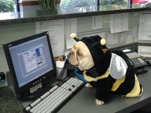 Small beige dog dressed as a bee on an office desk
