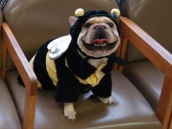 Small beige dog dressed as a bee on a chair