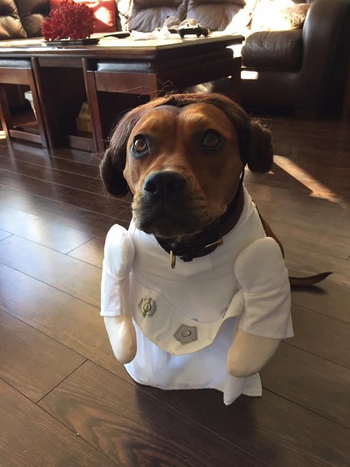 Sitting brown dog dressed as Rey from Star Wars