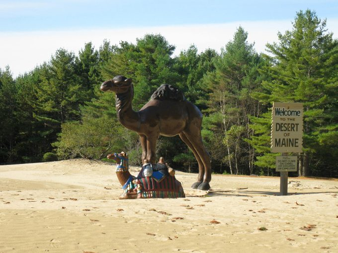 Huge body of sand and a camel surrounded by pine trees