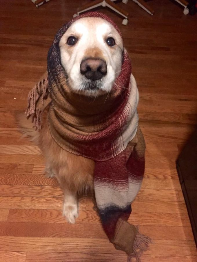 Golden retriever with a brown scarf wrapped around its head and neck