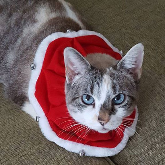 Grey and white cat with a large red and white collar with tiny bells