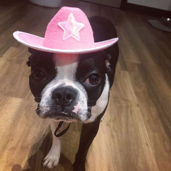 Boston terrier wearing a pink cowboy hat