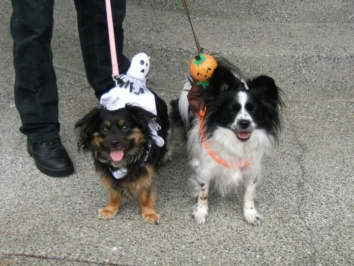 Two cute little dogs wearing decorated collars with a big pumpkin and ghost