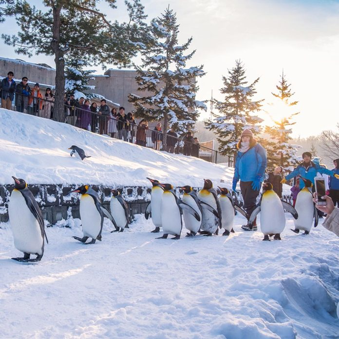 Asahikawa, Hokkaido, Japan, December 24, 2015: King Penguin at Asahiyama Zoo, the last Parade time of the day before sunset.; Shutterstock ID 432069526; Job (TFH, TOH, RD, BNB, CWM, CM): TOH