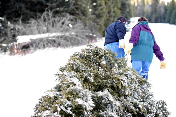 husband and wife having cut down their own tree are pulling it out of the forest.