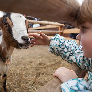 A young girl feeding goat.