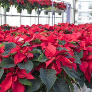 Red Poinsettias in Pots on Display in a Garden Center