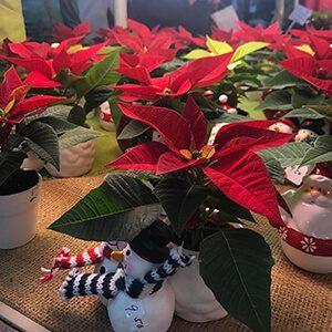 Poinsettia plants with festive snowman vases