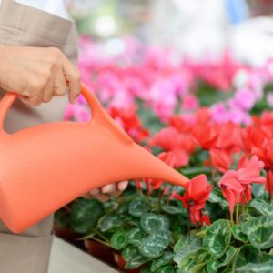 Involved in work. Close up of water pot in hands of professional florist watering flowers while doing his job;