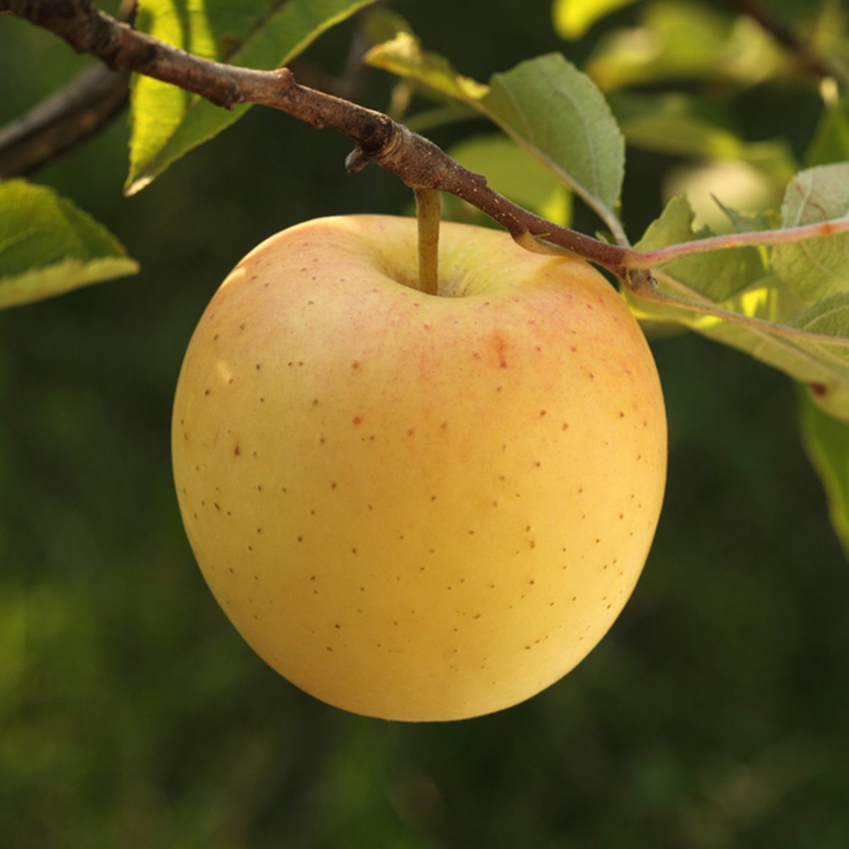 Golden delicious apple growing on the apple tree branch; Shutterstock ID 330993050; Job (TFH, TOH, RD, BNB, CWM, CM): TOH