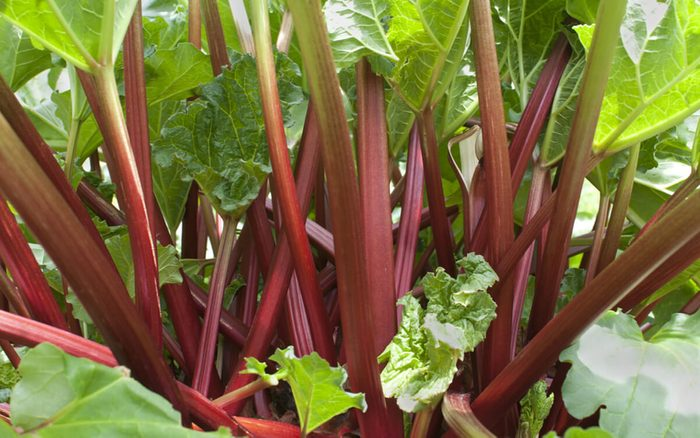 Ripe red stems of rhubarb (Rheum rhabarbarum) growing in vegetable garden