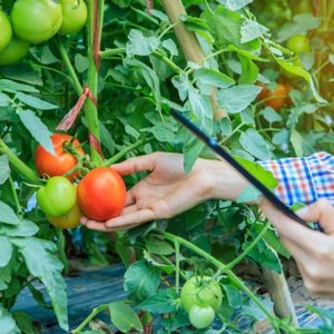 The staff gigl checking quality of tomato in the garden.