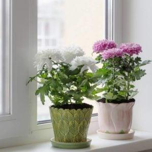chrysanthemum in pot on window sill