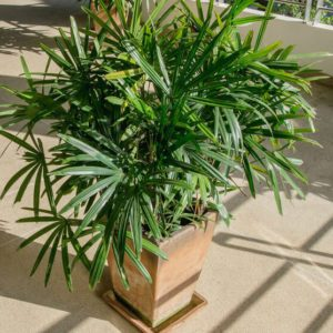 Green lady palm or Bamboo with shadow on brown floor rough
