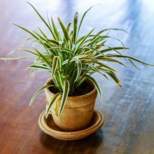 Little tree on a wooden table, dracaena fragrans