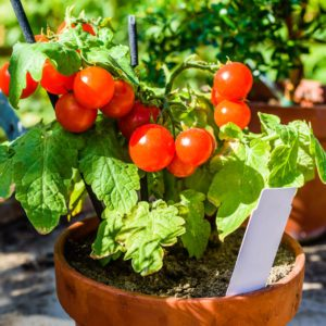 Lovely small cherry tomato plant with ripe and tasty tomatoes on it. White empty marker in pot