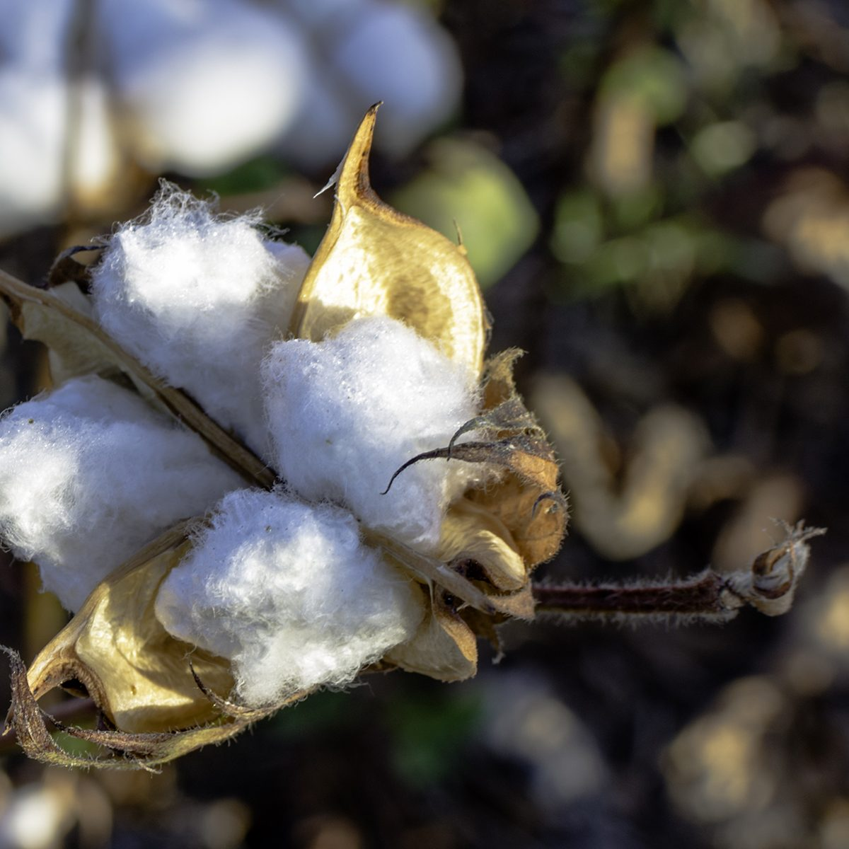 Close up of ripe cotton ball in field