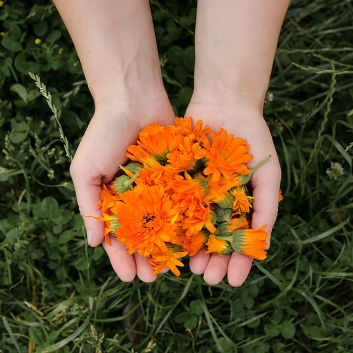 Yellow flowers of calendula in the hands of a woman on the background of herbs, medicinal plant, background for the inscription, panorama; Shutterstock ID 675233650