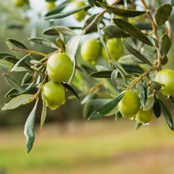 This Is Why You Can't Buy Fresh Olives at the Supermarket