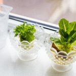 How to Regrow Celery from Scraps