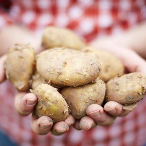 Man Holding Home Grown Jersey Royal Potatoes