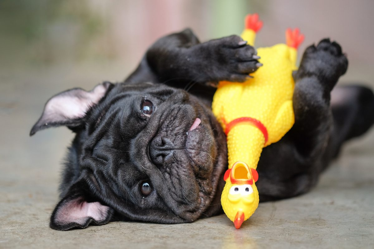 Funny pug dog lying on concrete road with yellow chicken toy
