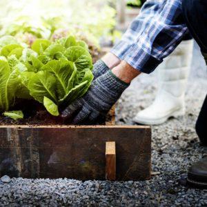 Senior adult couple picking vegetable from backyard garden