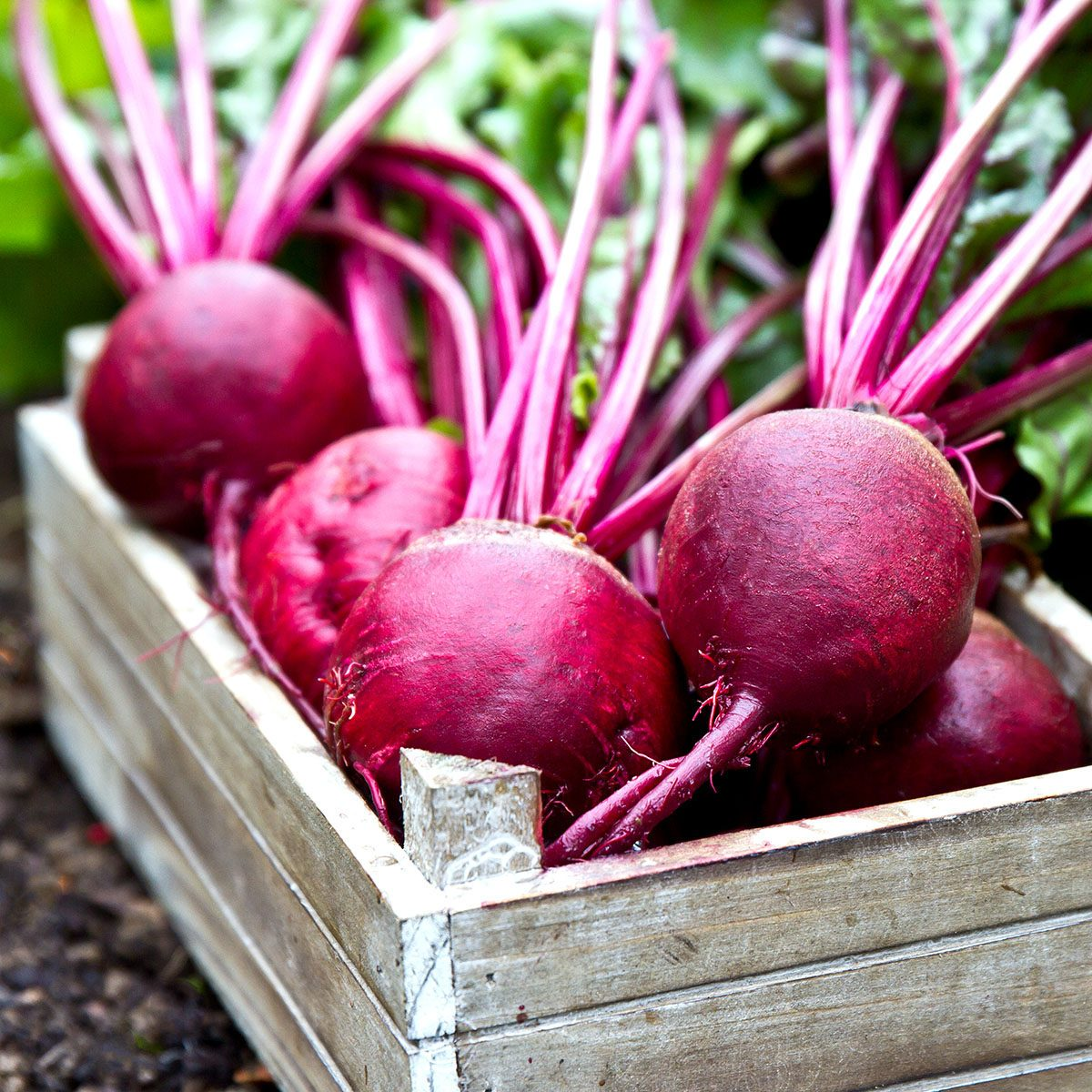 Freshly picked beetroots in wooden tray.