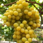 Everything You Need to Know About Cotton Candy Grapes