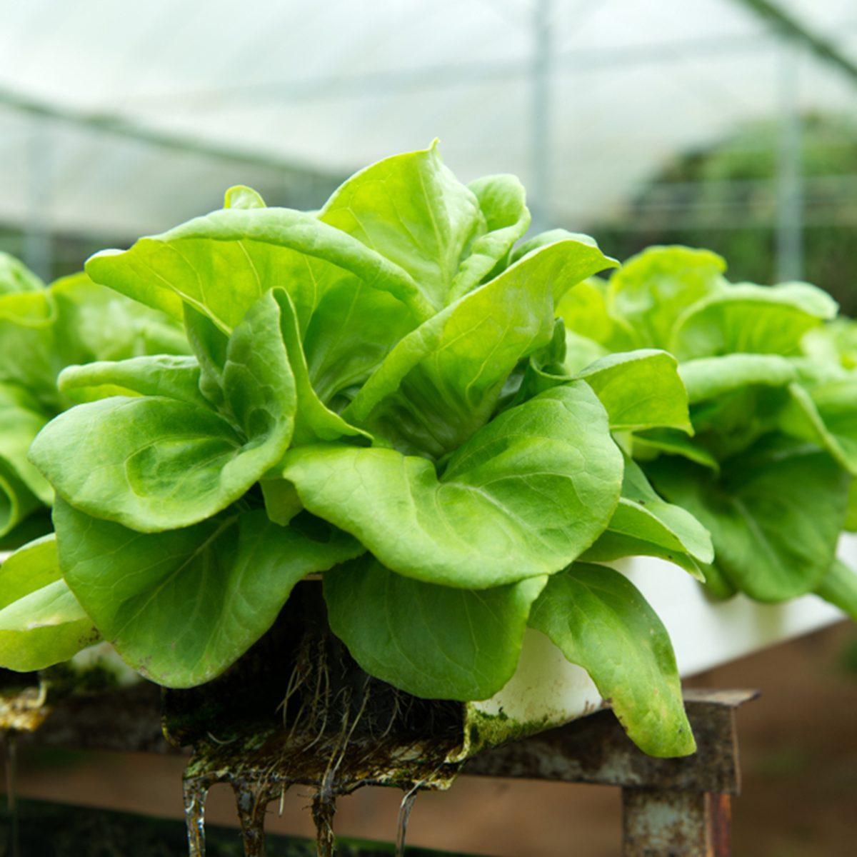 Hydroponic butterhead lettuce growing in a greenhouse
