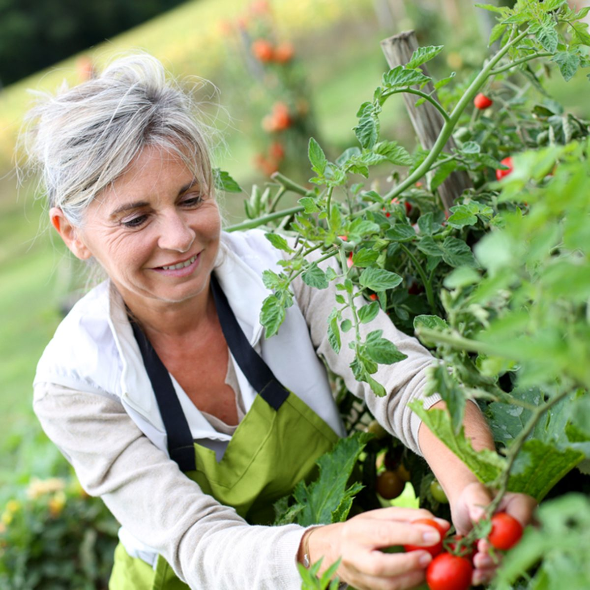 Senior woman picking tomatoes from vegetable garden