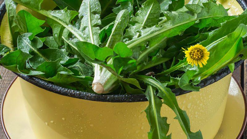 Washed dandelion leaves in a colander prepared for spring vitamin salad on a wooden table