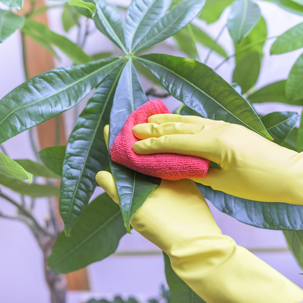 Female hands in gloves wipe dust from houseplants.