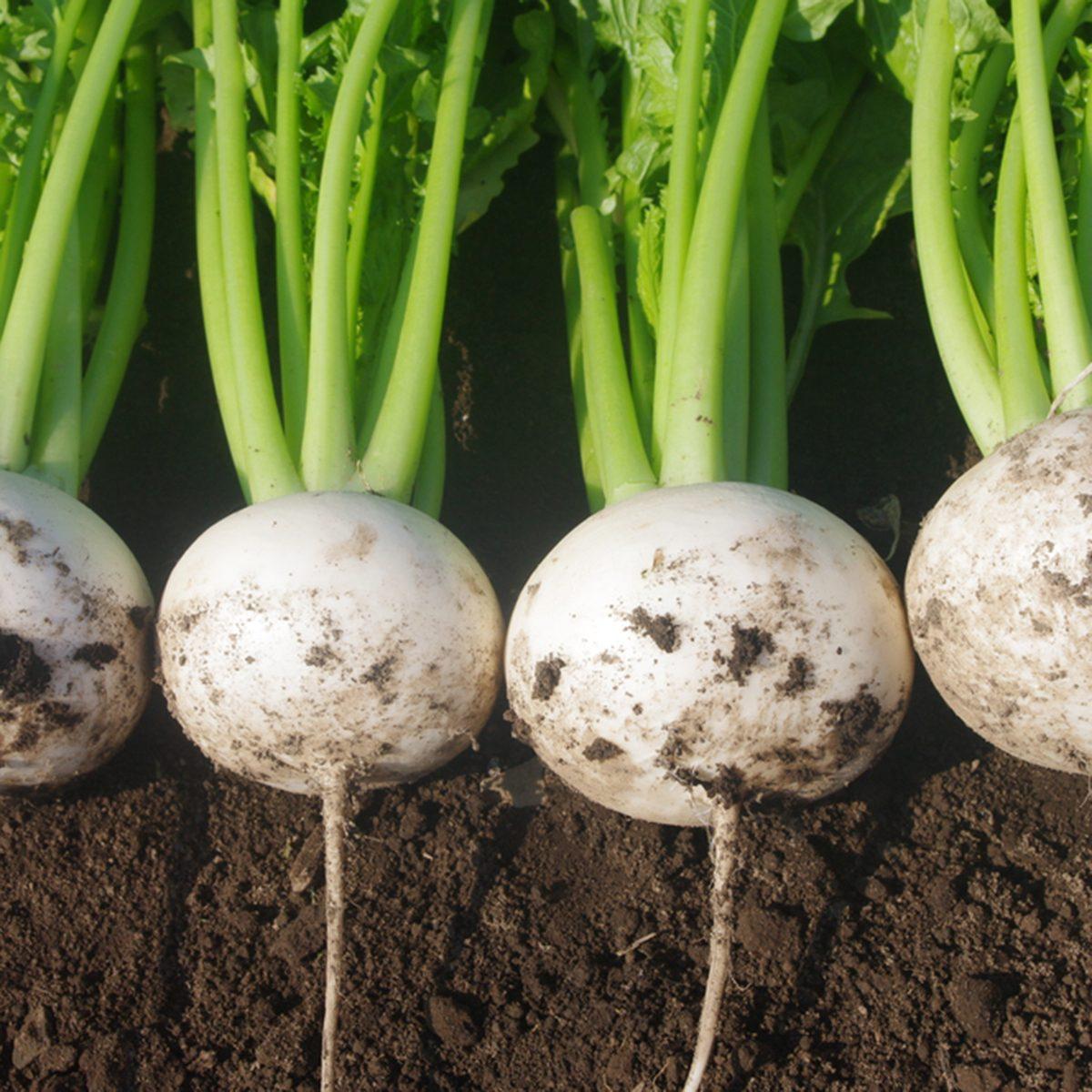 Fresh Japanese turnip