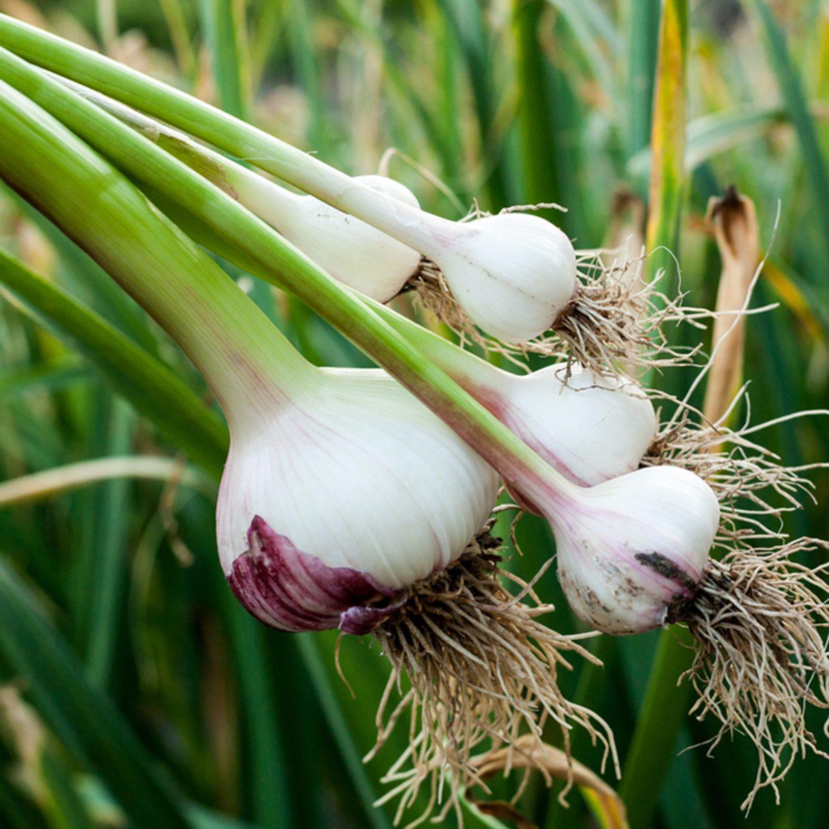 Garlic field in the landscape