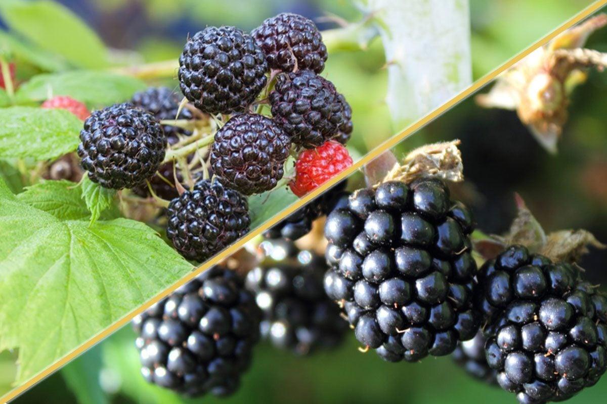 Black raspberries and blackberries