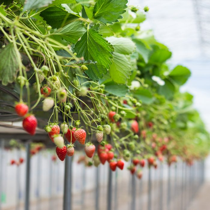 Ripe and underripe strawberries on the tree at the greenhouse garden in Japan