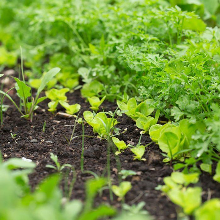 Green fresh herbs. Gardening background with radish.