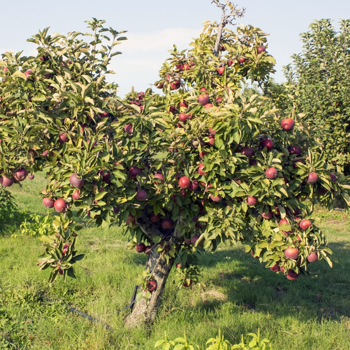 "A row of trees with red apples ""Black Arkansas"""