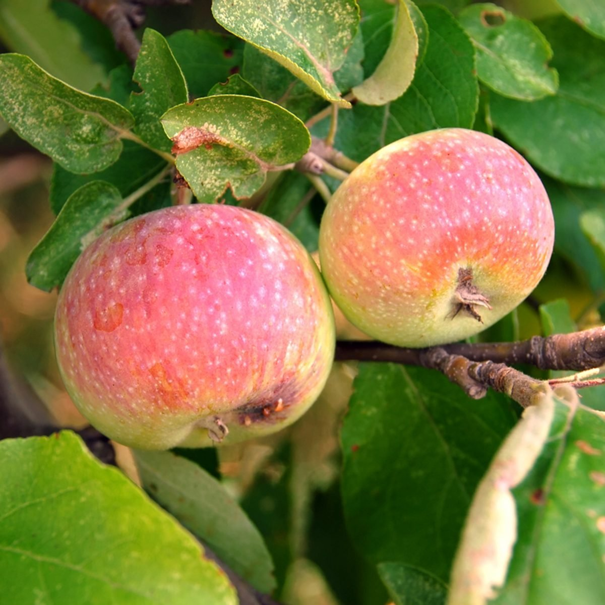 Apples on the tree in the summer just weeks before harvest.
