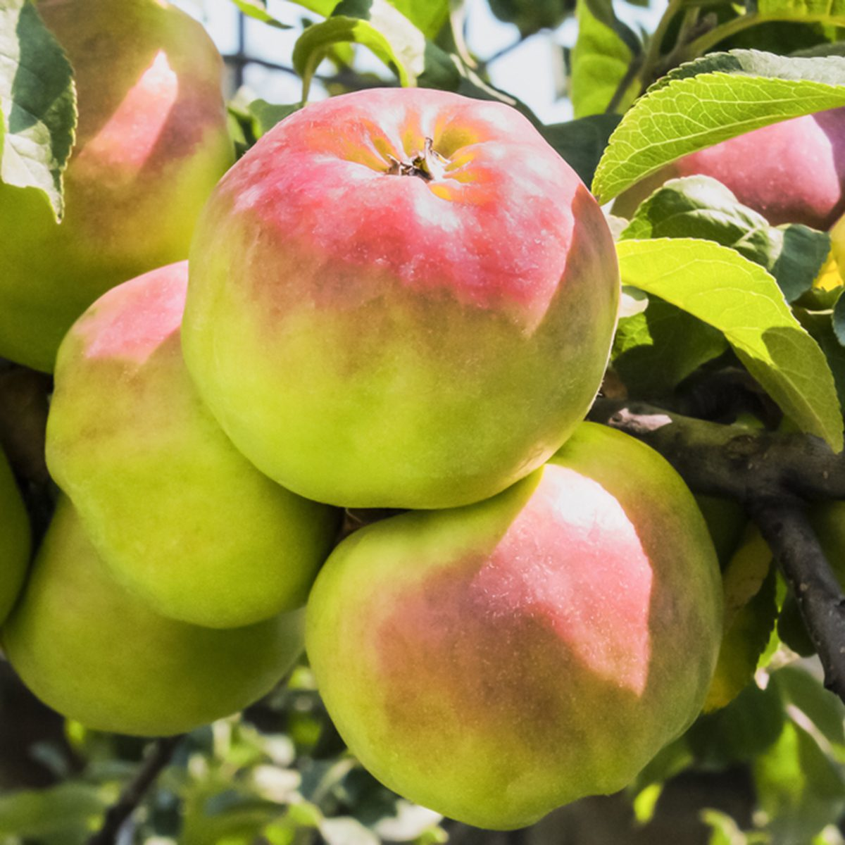 abundantly growing maturing large apples