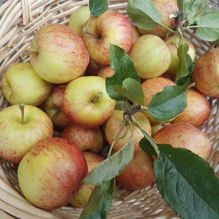 Freshly Picked Braeburn Apples in wicker basket at Harvest time in Autumn