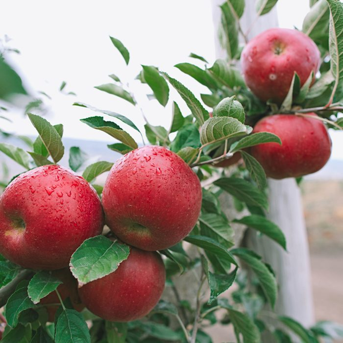 Closeup of a branch full of fresh red apples
