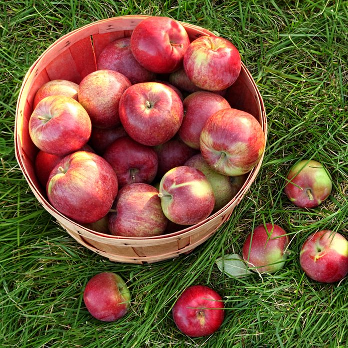 Overhead shot of a basket of freshly picked apples in grass