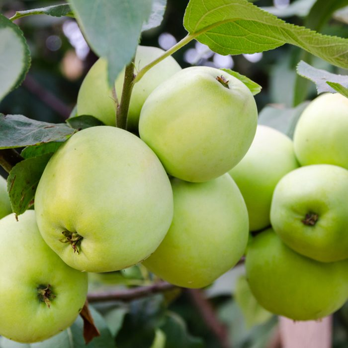 Green apples grow in the garden on a branch.