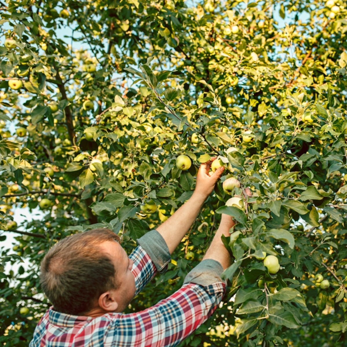 The male hand during picking apples in a garden outdoors.