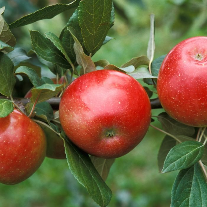 """'Zestar!'(R) apple developed by the University of Minnesota, Agricultural Experiment Station. Project #21-016, """"Breeding and Genetics of Fruit Crops for Cold Climates."""" Principal investigator: James J. Luby; scientist, David Bedford. Released in 1998. Ripens very early, August 6-13 in Minnesota. Balanced flavor and stores well."""